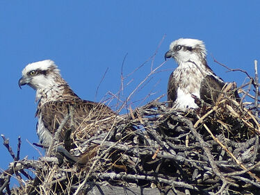 Eastern Ospreys nesting