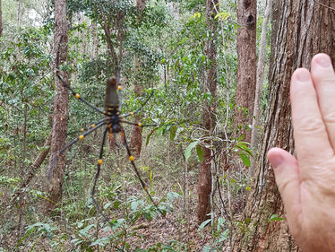 A quite large Golden Orb