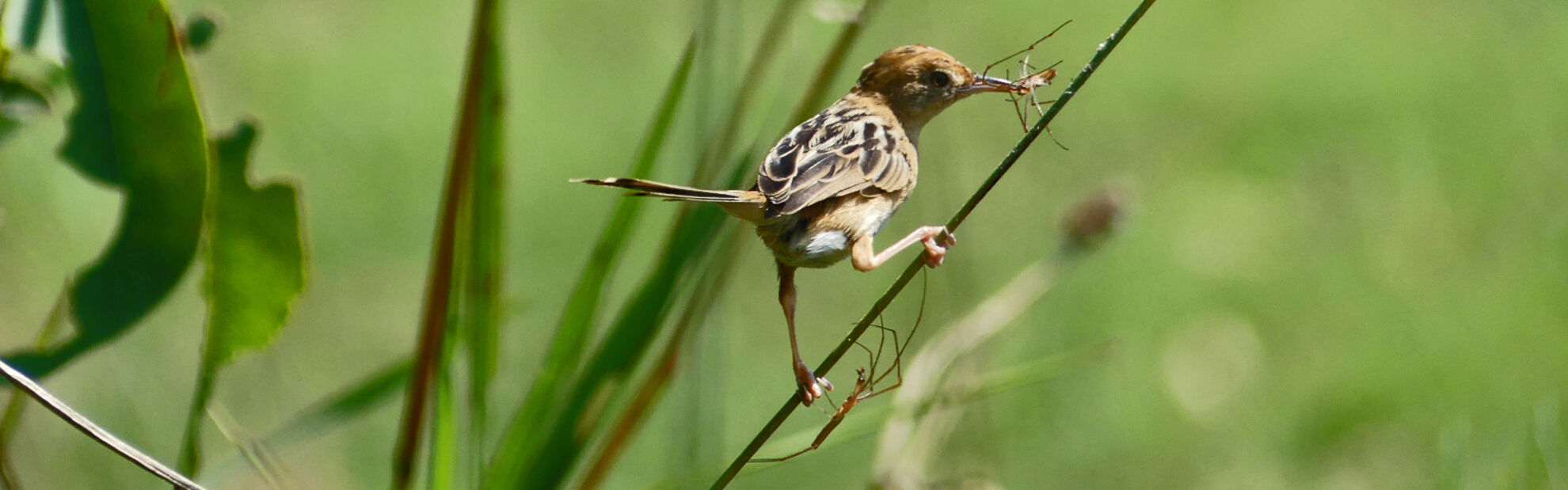 Golden-headed Cisticola, female