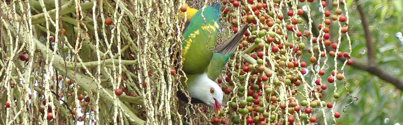 Wompoo Fruit-dove in a Piccabeen